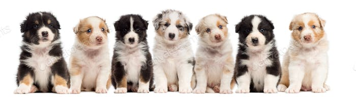Front view of Australian Shepherd puppies, 6 weeks old, sitting in a row against white background