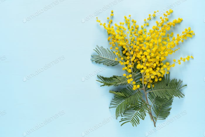 Mimosa flowers on blue table top view