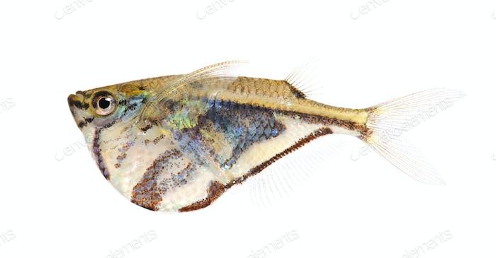 Common hatchetfish - Gasteropelecus sternicla