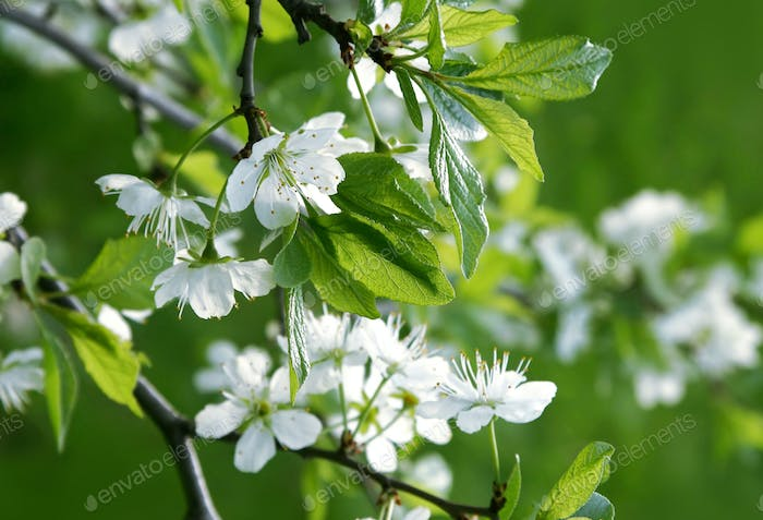 Beautiful branch of a spring tree