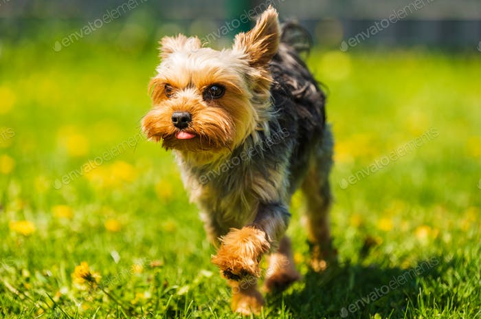 Cute Yorkshire Terrier dog running in the grass full of dandelions