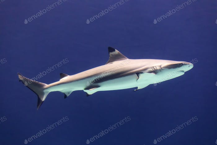 large white shark in blue water
