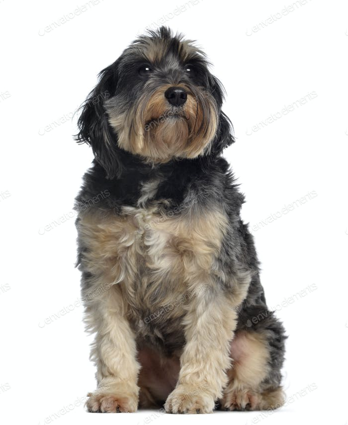 Griffon Bleu de Gascogne, 6,5 years old, sitting and looking away, isolated on white