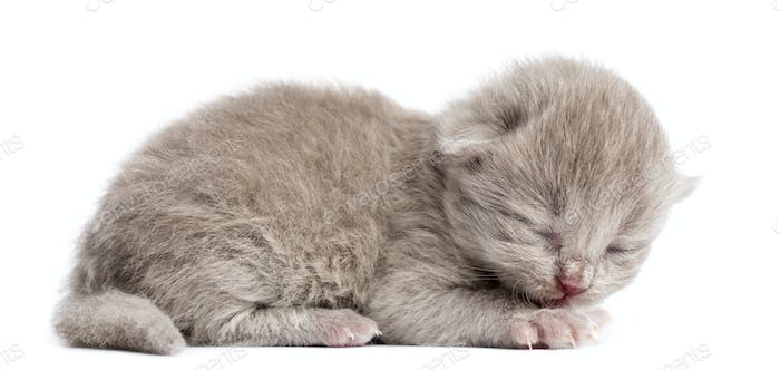 Side view of a Highland straight or fold kitten lying, eyes closed, 1 week old, isolated on white