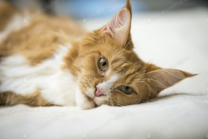 Maine Coon red tabby lying on bed