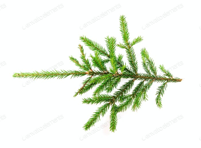 Spruce branch on a white background for your design