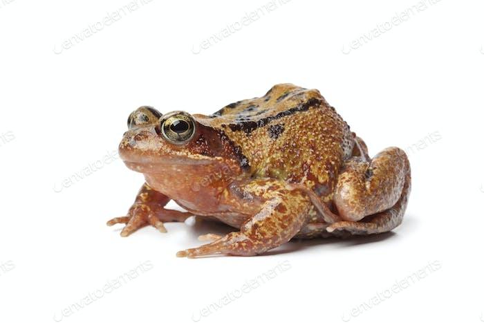 Einzelner brauner Frosch