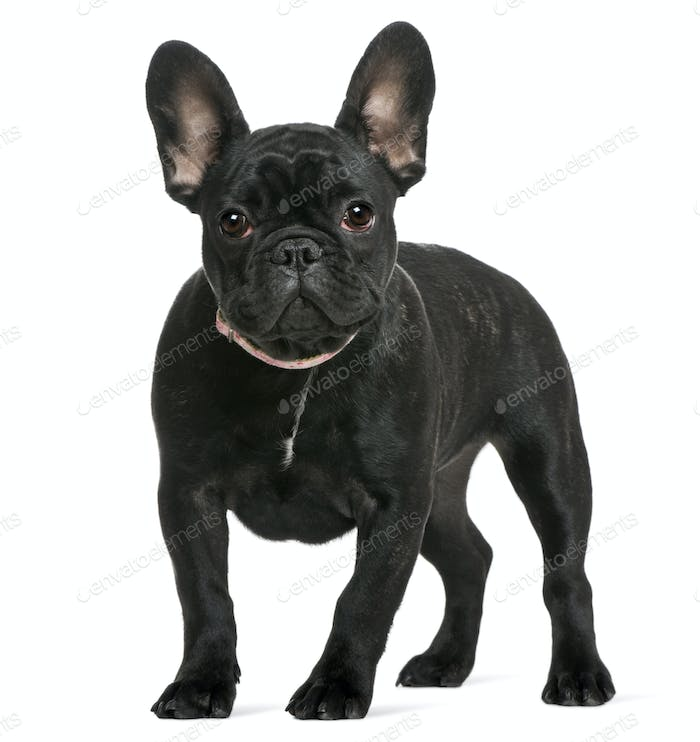 French bulldog puppy, 4 months old, in front of white background