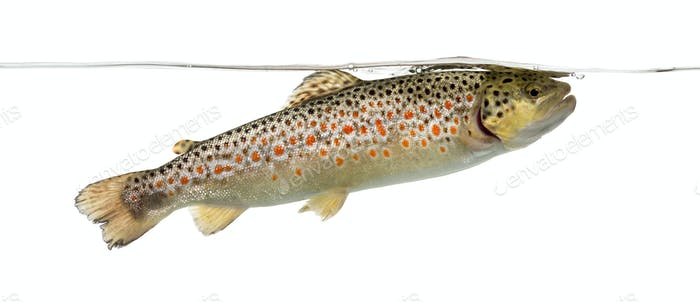 Brown trout swimming under water line, isolated on white