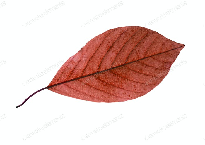 Birch Closeup Leaf Isolated On White Background