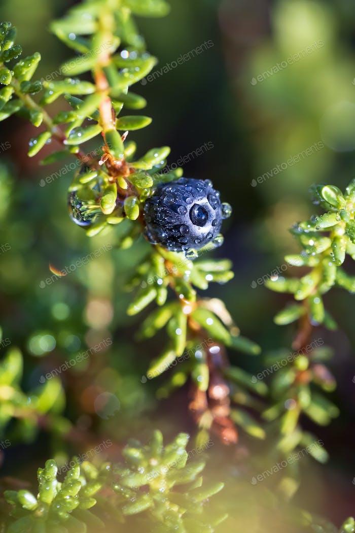 Empetrum nigrum, crowberry, black crowberry, in western Alaska,
