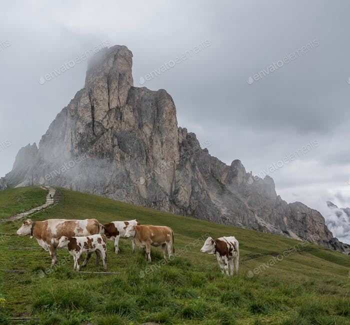 Cows in the Dolomites mountains on a cloudy day