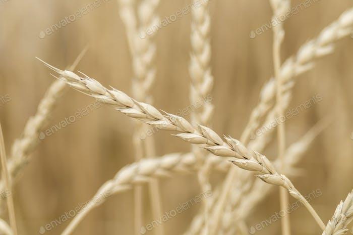 Common wheat, Triticum aestivum, variety spelta