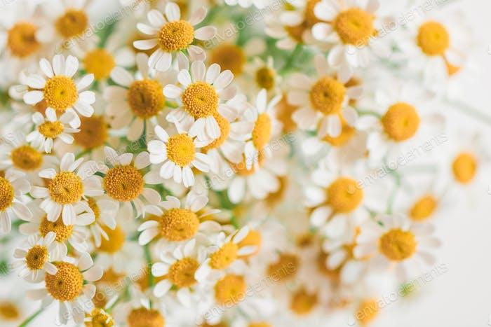 Macro photography of little daisy flowers