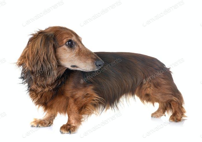 old dachshund in studio