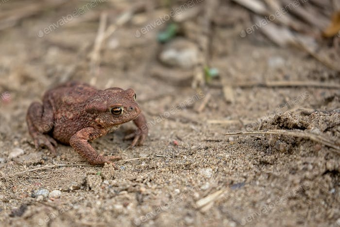 Brown frog in the wild