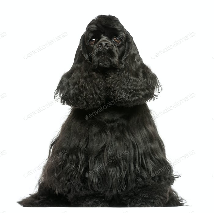Front view of a English Cocker Spaniel sitting, isolated on white