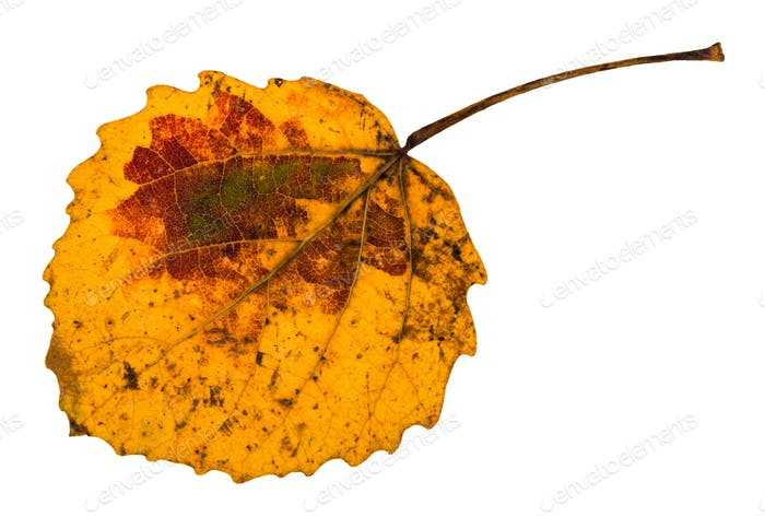 autumn yellow fallen leaf of aspen tree isolated