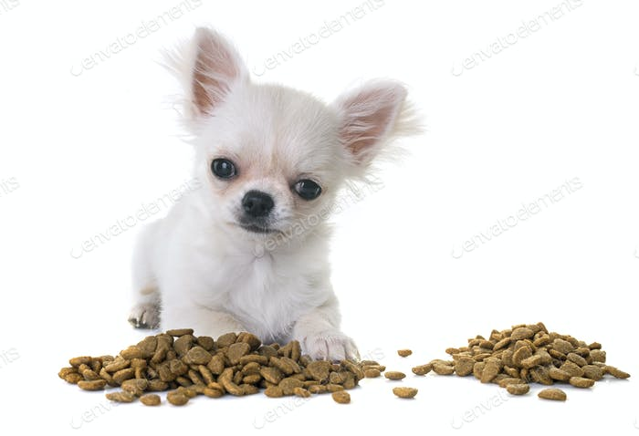 puppy chihuahua eating