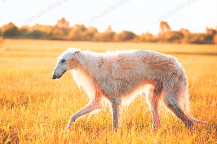 White Russian Dog, Borzoi Walking Running In Summer Sunset Sunri