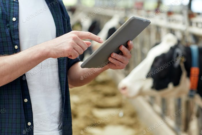 man with tablet pc and cows on dairy farm