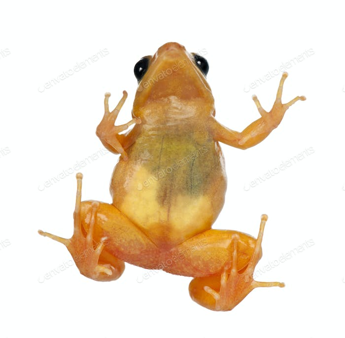 Golden Mantella, Mantella aurantiaca, against white background