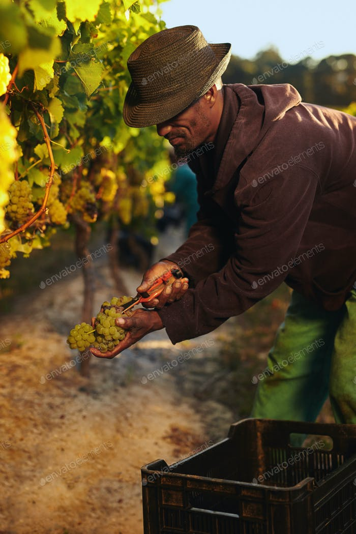 Man cutting green grapes in vineyard