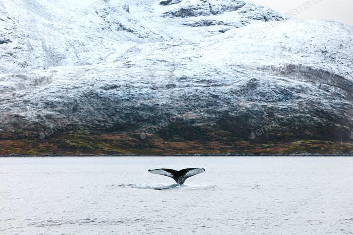 Humpback whale tale fin in the arctic