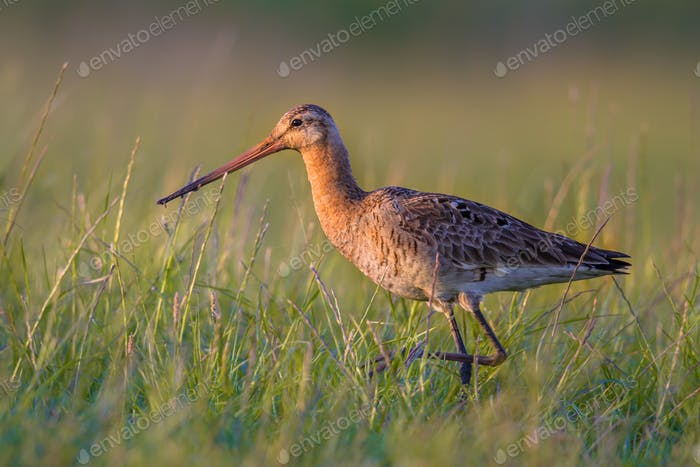 Black-tailed Godwit wader bird walking in grassland