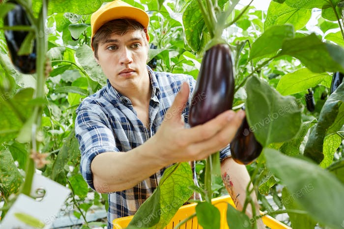 Young worker of greenhouse choosing ripe eggplants