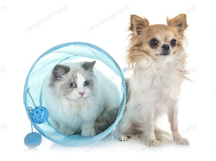 ragdoll cat and chihuahua