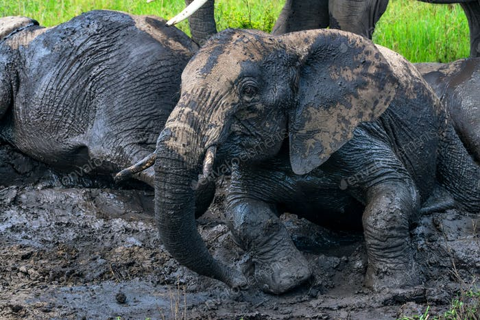 African elephants or Loxodonta cyclotis in mud
