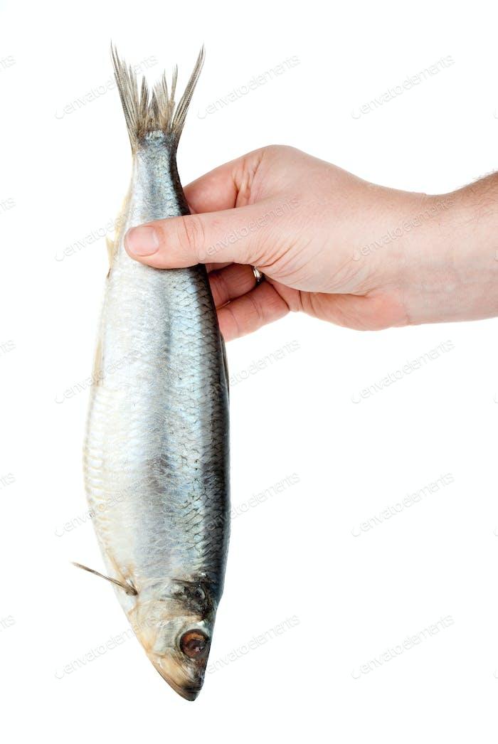 Hand holding salted herring