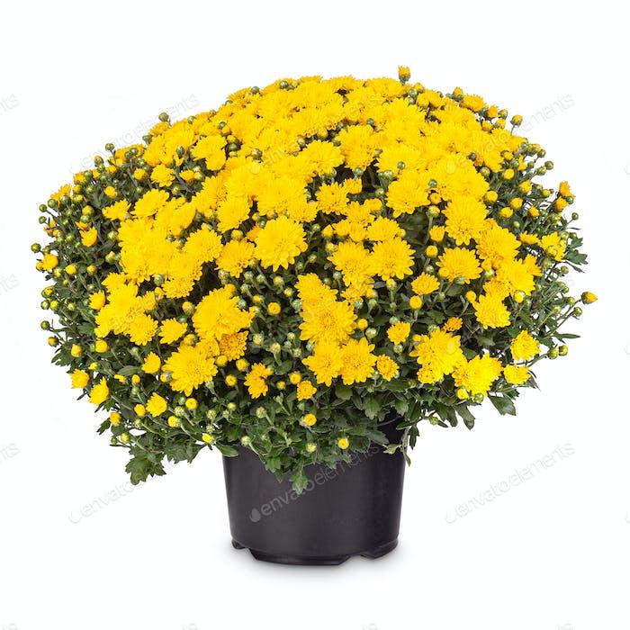 Blumenstrauß von gelben Chrysanthemen