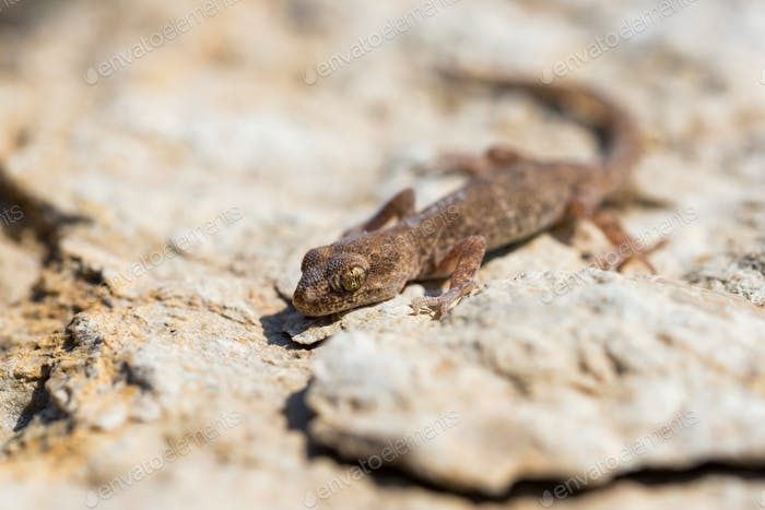 Close up cute small Even-fingered gecko genus Alsophylax on stone