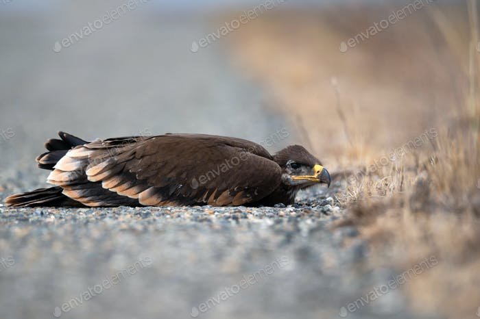 Close up of nestling Steppe eagle or Aquila lying in grass