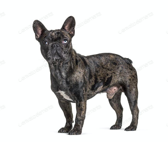 Brindle French bulldog blue eyed, standing, isolated on white