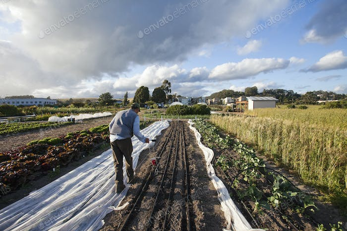 A man working in the fields sowing seed in the ploughed furrows.