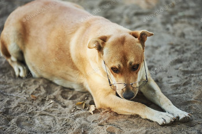 Sad dog in eyewear laying on the sand outdoors. Conception of pets