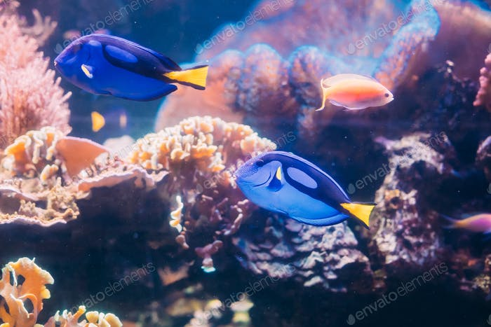 Blue Tang Fish Paracanthurus Hepatus Swimming In Water. Popular