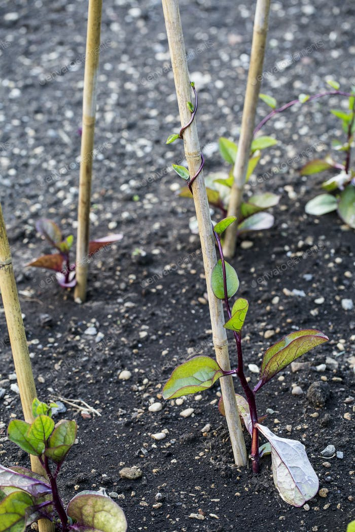 Close up of seedlings supported by wooden stakes.