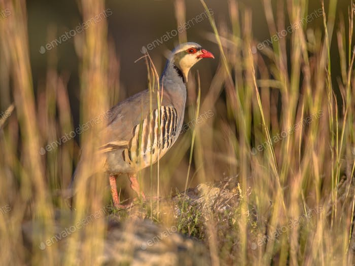 chukar partridge looking through vegetation