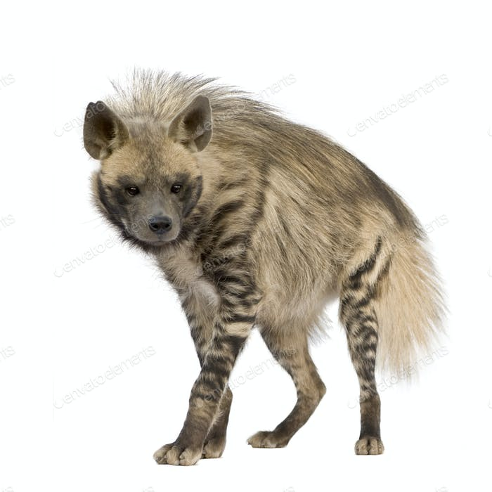 Striped Hyena - Hyaena hyaena