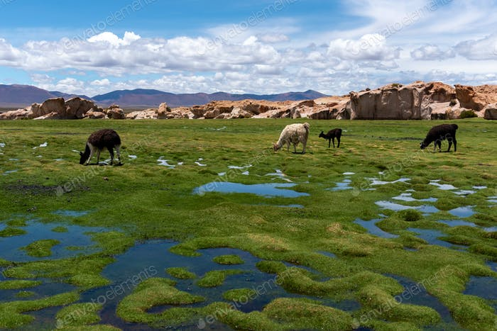 Some llamas grazing in the altiplano