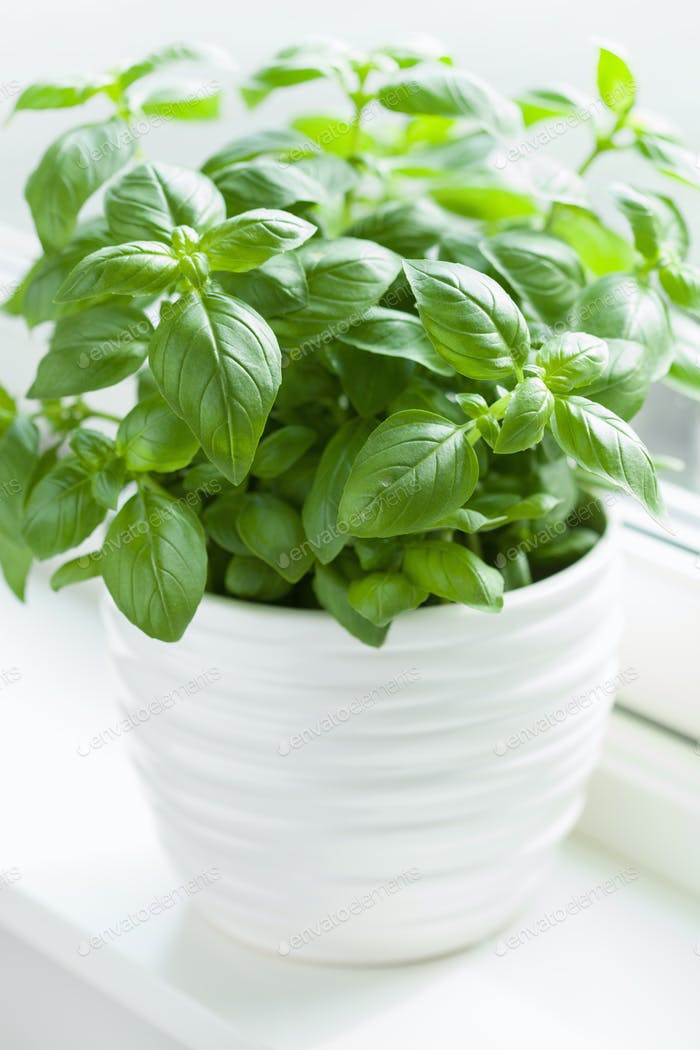 fresh basil herb in flowerpot on window