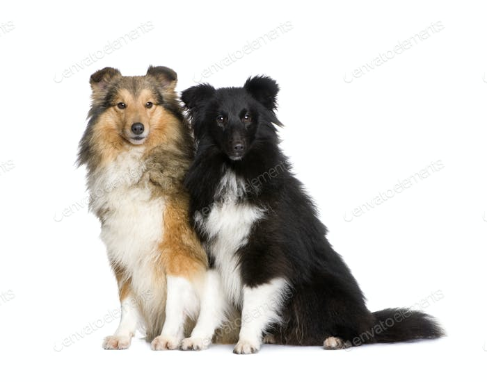couple of shelties