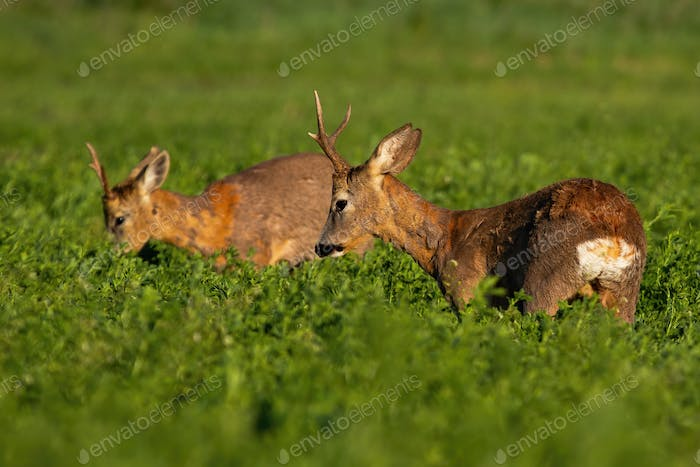 Two roe deer bucks standing against each other on intersection of their territories