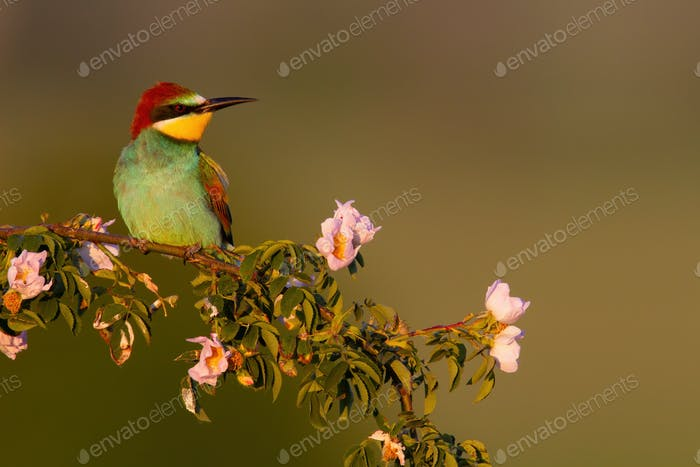 European bee-eater sitting on blooming branch in summer