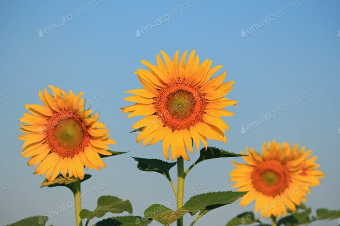Yellow sunflowers and blue sky