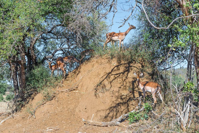 Impala ewes and calves on an antheap